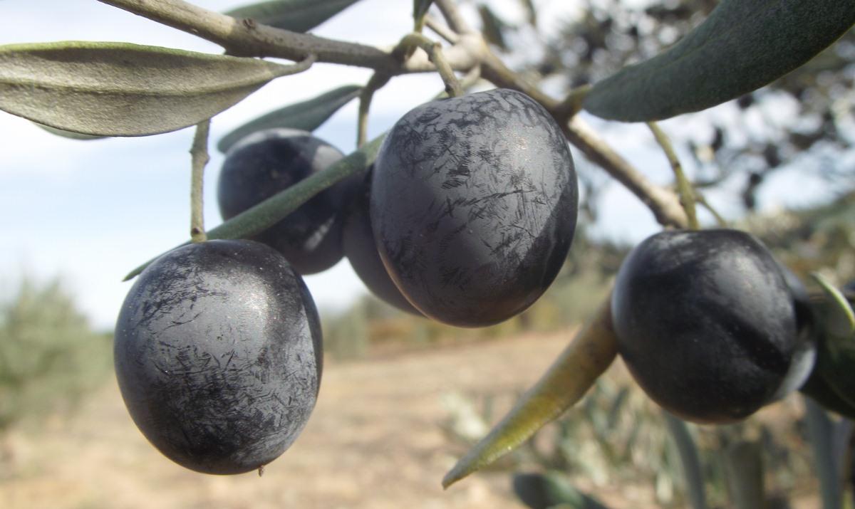 Zeytin ve Türleri
